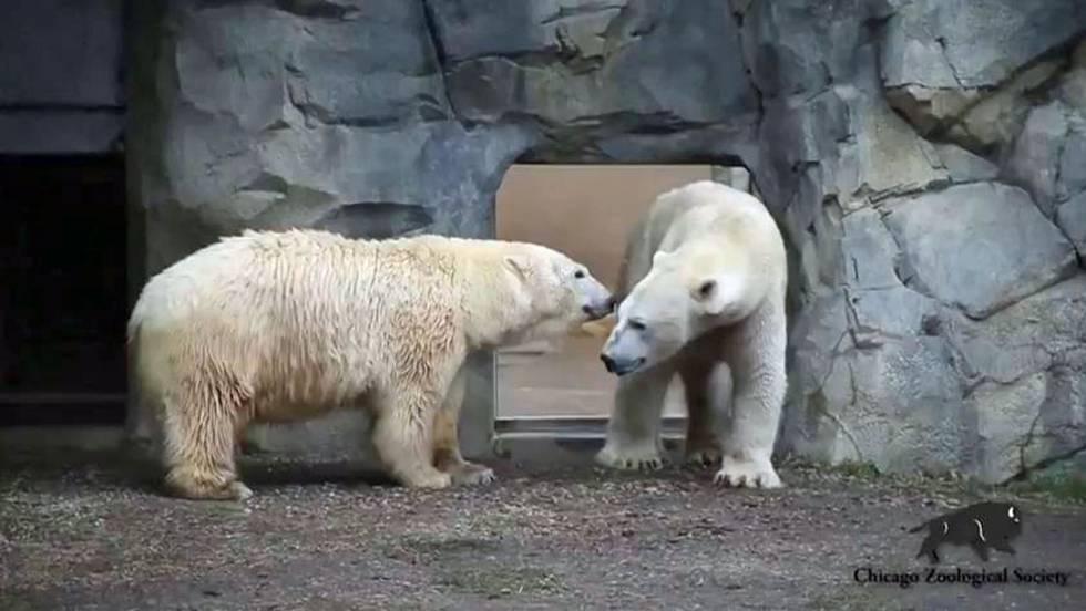 La primera cita de dos osos polares