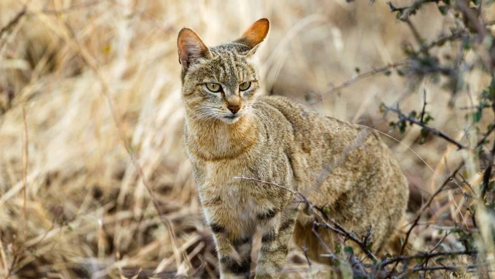 Tu gato desciende del gato salvaje africano