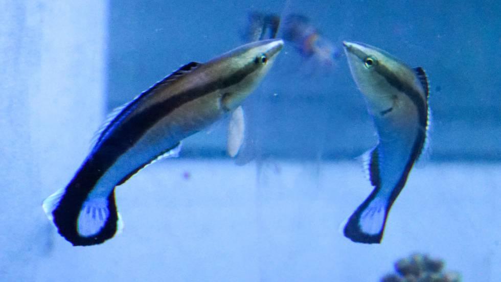 El pez que logra reconocerse en el espejo